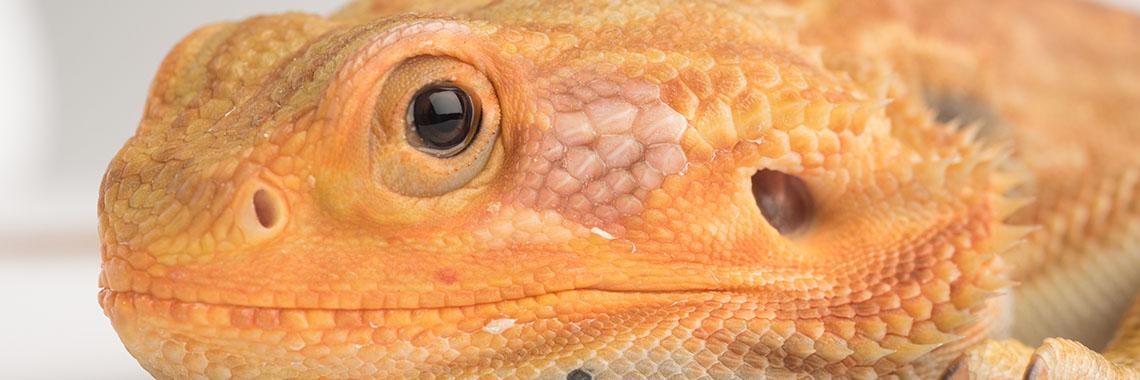 up close lizard head
