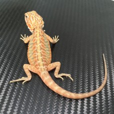 **sold**031 male hypo trans leatherback