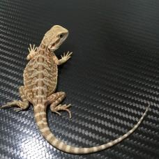 035 **sold**female 66% het witblits het hypo leatherback